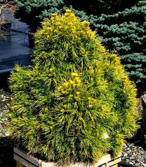 Pinus sylvestris Moseri Dwarf Golden Scot's Pine