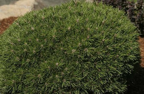 Pinus mugo Benjamin Miniature Mugo Pine