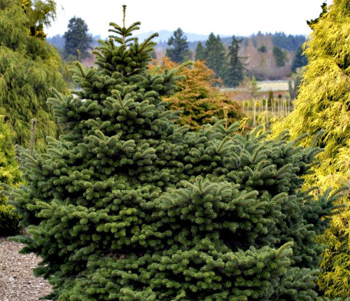 Abies koreana ' Starker's Dwarf ' Dwarf Korean Fir