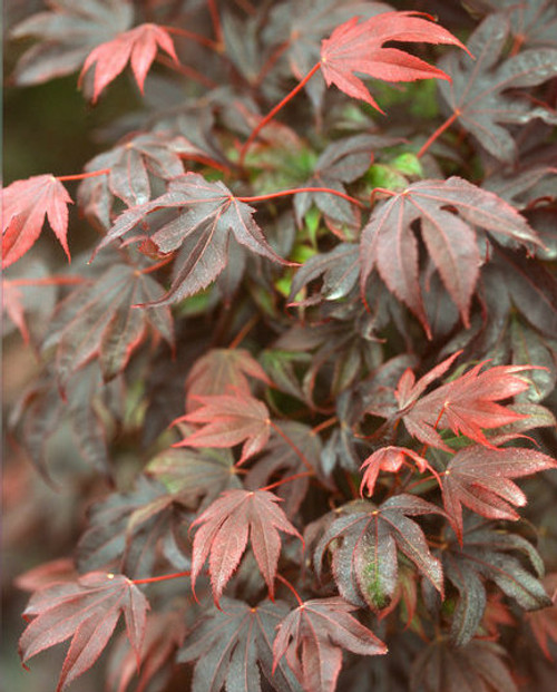 Acer palmatum Adrian's Compact Dwarf Japanese Maple