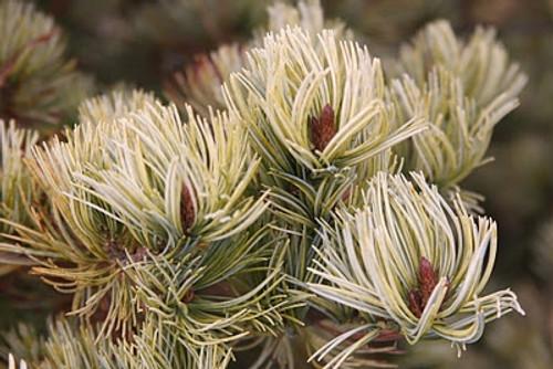 Pinus parviflora Ogon Variegated Japanese White Pine