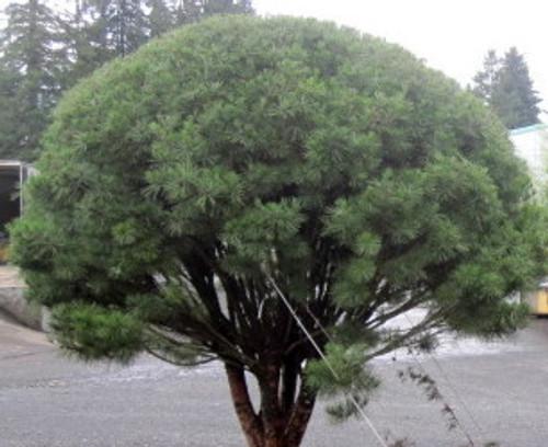 Pinus densiflora Umbraculifera Tanyosho Japanese Red Umbrella Pine