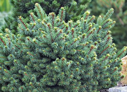 Picea abies Lanham's Beehive Dwarf Norway Spruce