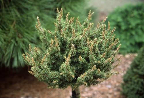 Cedrus libani ' Kenwith ' Miniature Cedar of Lebanon