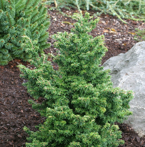 Tsuga canadensis ' Jervis ' Dwarf Canadian Hemlock