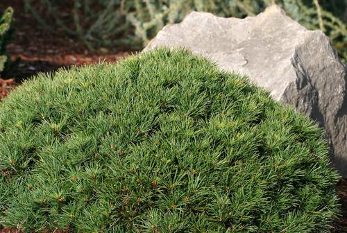 Pinus strobus Greg Miniature White Pine