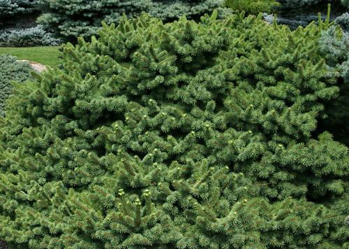 Picea pungens Mrs. Cesarini Dwarf Colorado Spruce