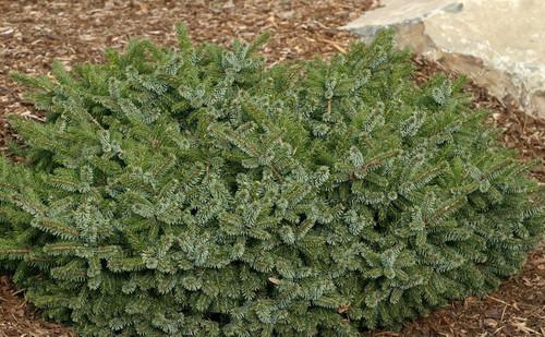 Picea omorika Kamenz Dwarf Serbian Spruce