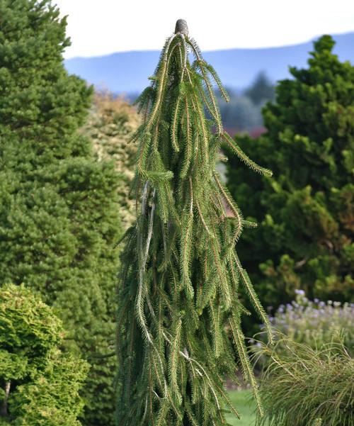 Picea abies Cobra Weeping Creeping Norway Spruce
