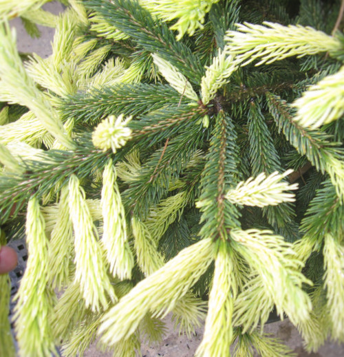 Picea glauca ' Mac Gold ' Spring Flushing White Spruce