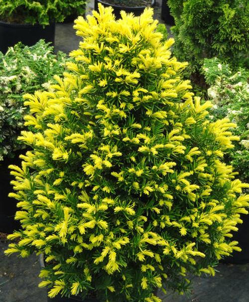 Taxus cuspidata Rezek's Gold Dwarf Golden Japanese Yew