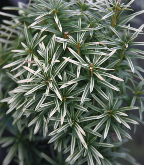 Taxus baccata Silver Spire Dwarf Silver Sparkling English Yew
