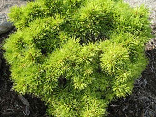 Pinus strobus Horsford Dwarf Eastern White Pine