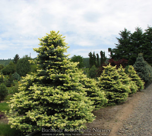 Spring Blast Colorado Blue Spruce