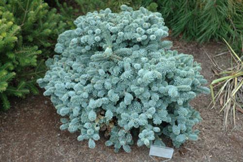 Abies Procera Blaue Hexe Miniature Blue Noble Fir Kigi Nursery