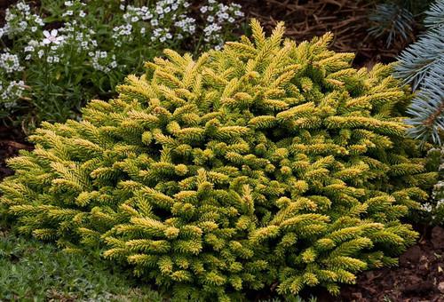 Picea orientalis ' Tom Thumb ' Miniature Oriental Spruce