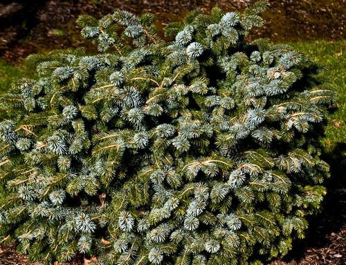 Picea sitchensis Silberzwerg Silver Dwarf Sitka Spruce
