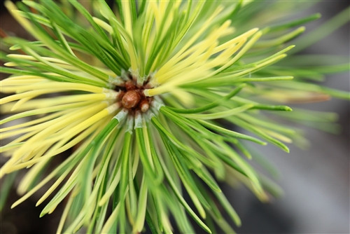 Pinus mugo ' Real Sparklers ' Variegated Mugo Pine