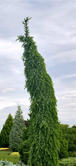 Picea omorika Bruns Pendula Narrow Weeping Serbian Spruce