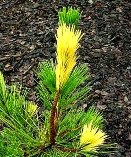 Pinus thunbergiana ' Aocha matsu ' Variegated Japanese Black Pine