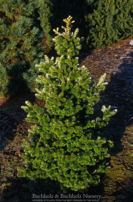 Abies koreana ' Freudenberg ' Dwarf Korean Fir