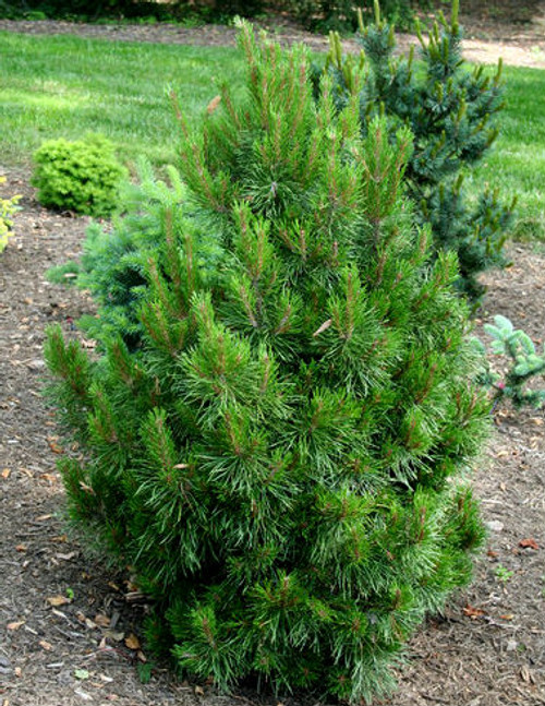 Pinus contorta Willow Creek Dwarf Shore Pine