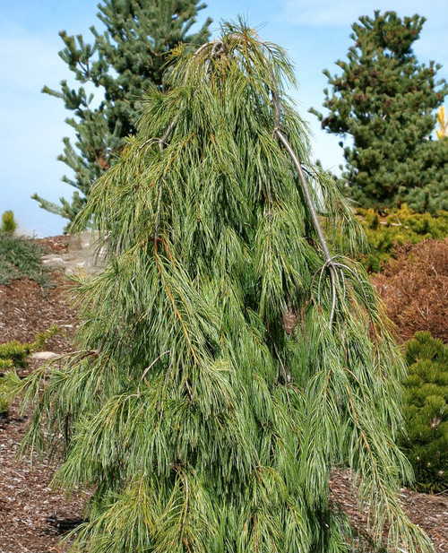 Pinus strobus Angel Falls Weeping Eastern White Pine