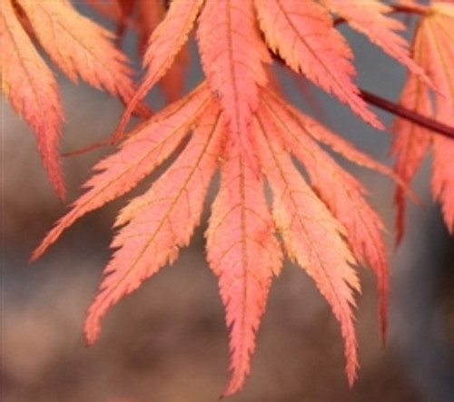 Acer palmatum Ariadne Japanese Maple Tree
