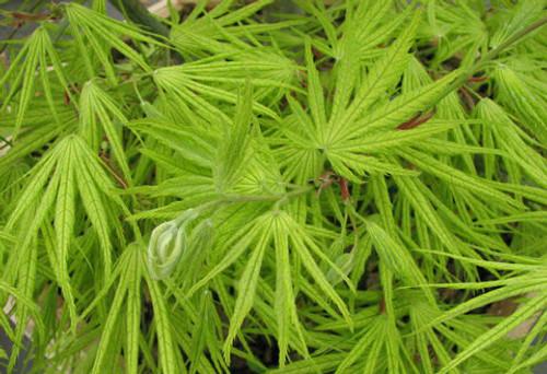 Acer Palmatum Elmwood Japanese Maple Tree Kigi Nursery