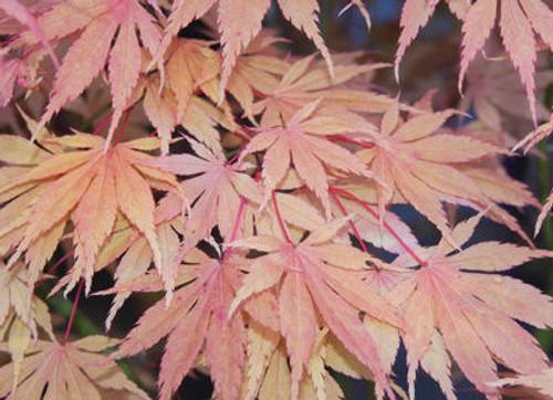 Acer Palmatum Killarney Japanese Maple Tree Kigi Nursery