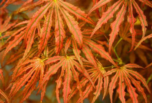 Acer Palmatum Mikazuki Variegated Japanese Maple Kigi Nursery