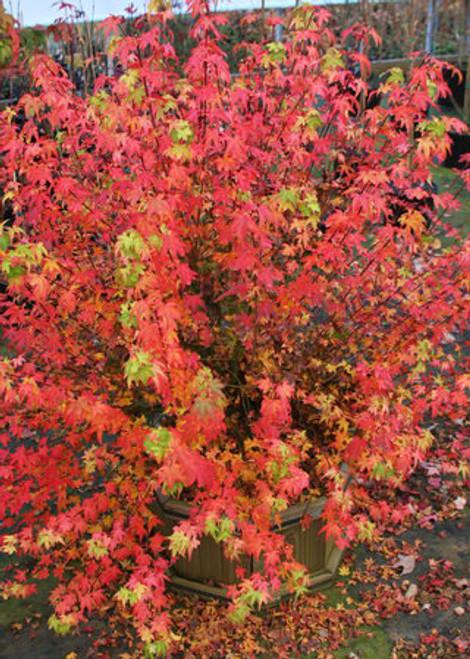 Acer palmatum Koto maru Dwarf Japanese Maple Fall Color