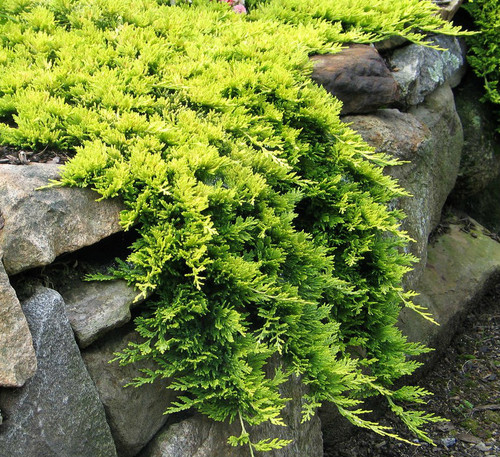 Juniperus horizontalis Mother Lode Dwarf Golden Creeping Juniper