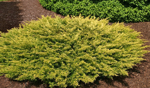 Juniperus horizontalis Limeglow Dwarf Golden Creeping Juniper