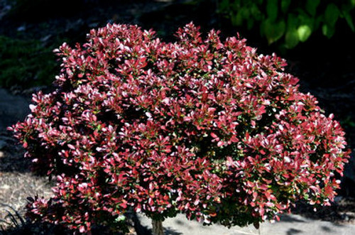 Berberis thunbergii Bagatelle Dwarf Red Japanese Barberry