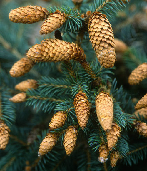 Picea pungens Herman Naue Dwarf Blue Spruce