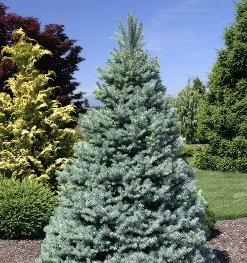 Picea pungens Sester Dwarf Dwarf Blue Spruce