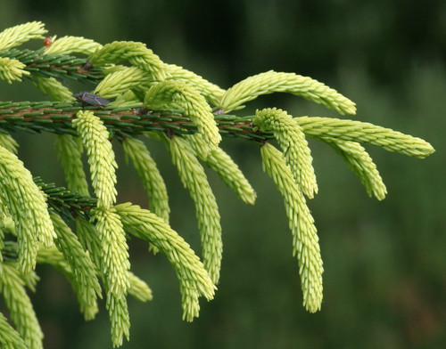 Picea orientalis Early Gold Spring Golden Oriental Spruce