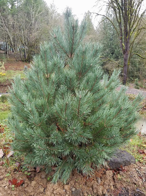 Pinus sylvestris ' Riverside Gem ' Blue Dwarf Globe Scot's Pine