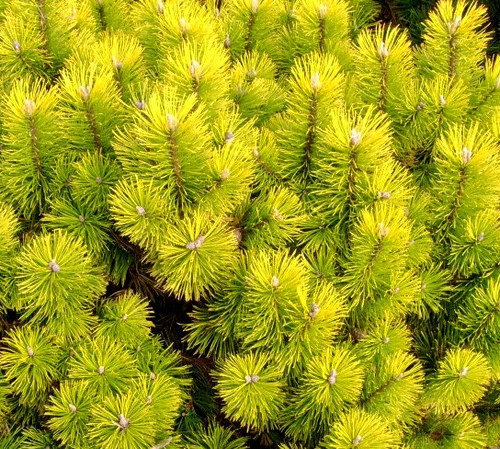 Pinus mugo Zundert Dwarf Golden Mugo Pine
