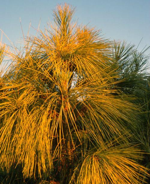 Zebrina Golden Himalayan Pine