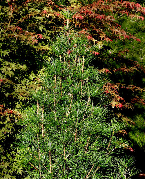 Sciadopitys verticillata Winter Green Japanese Umbrella Pine