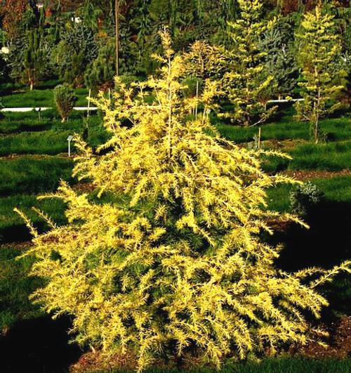 Cedrus deodara Gold Cone Golden Himalayan Cedar
