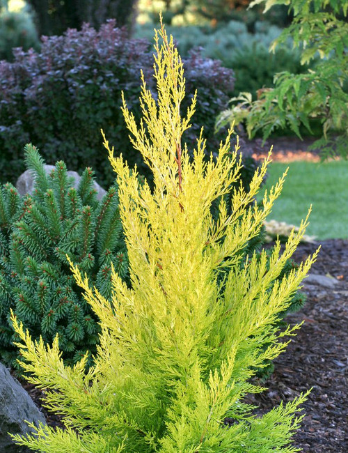 Cupressus macrocarpa Donard Gold Golden Monterey Cypress