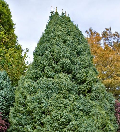 Picea omorika Nana Dwarf Serbian Spruce