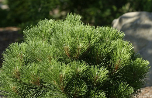 Pinus resinosa Morel Globe American Red Pine