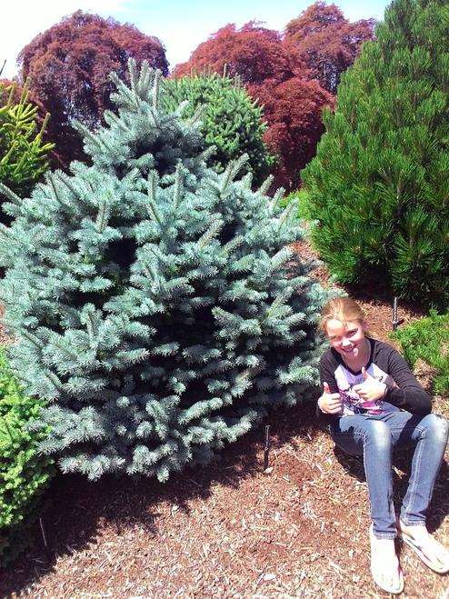 Picea pungens ' Zafiro ' Round Dwarf Colorado Blue Spruce