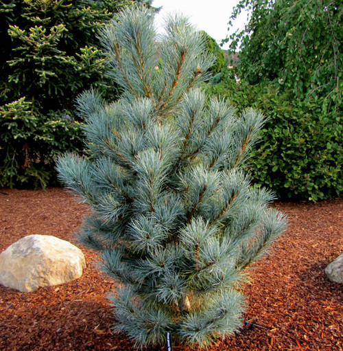 Pinus peuce ' Pacific Blue ' Macedonian Pine