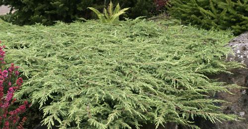 Juniperus communis Green Carpet Dwarf Spreading Common Juniper