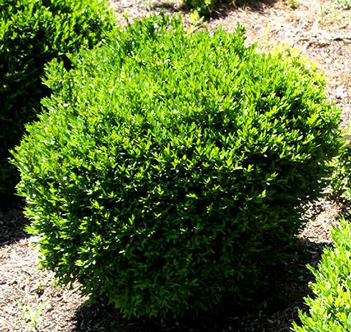Buxus sinica var. insularis Justin Brouwers Dwarf Korean Boxwood